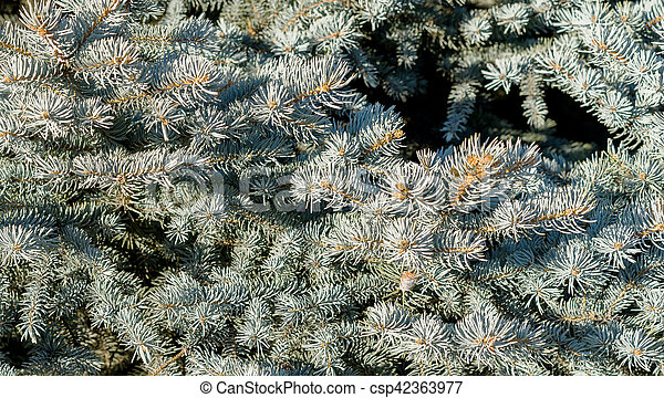 Branches of blue spruce - csp42363977