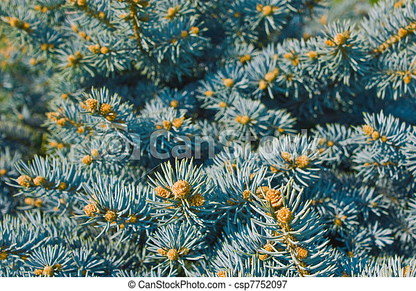 branches of blue spruce - csp7752097