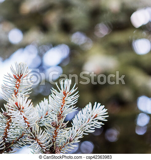 Branches of blue spruce - csp42363983