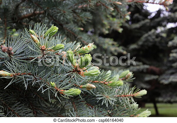 branches of blue spruce - csp66164040