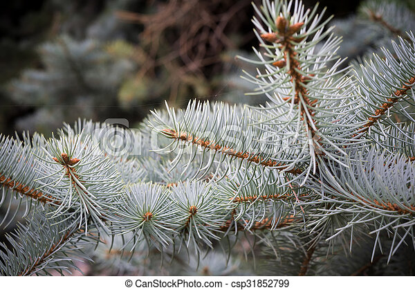 Branches of Blue Spruce - csp31852799