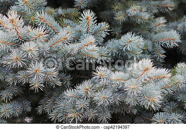 Branches of blue spruce - csp42194397