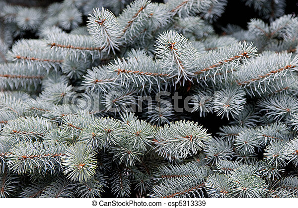 Branches of blue spruce - csp5313339