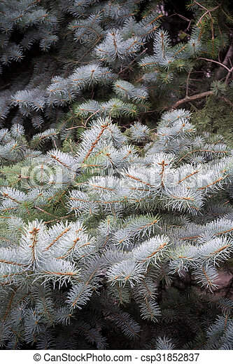 Branches of Blue Spruce - csp31852837
