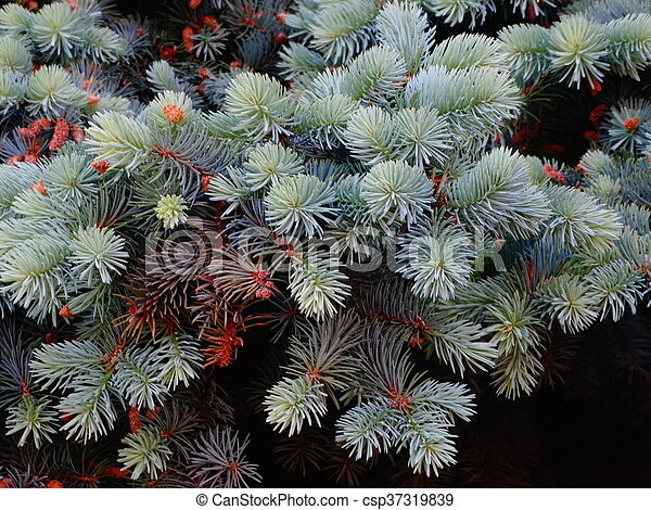 Branches of blue spruce - csp37319839