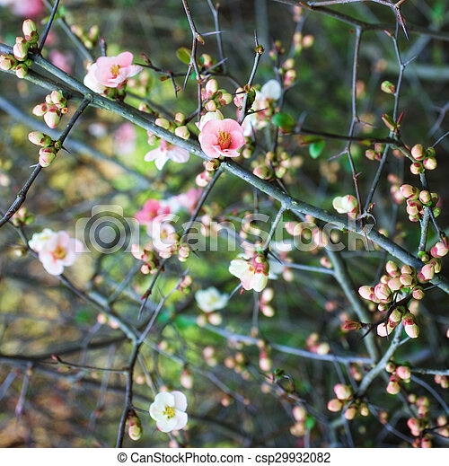 Branches of cherry blossoms - csp29932082