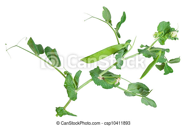 Branches of green pea on white background - csp10411893