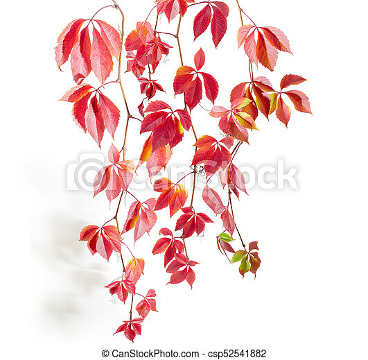 Branches of maiden grapes with autumn leaves on white background - csp52541882