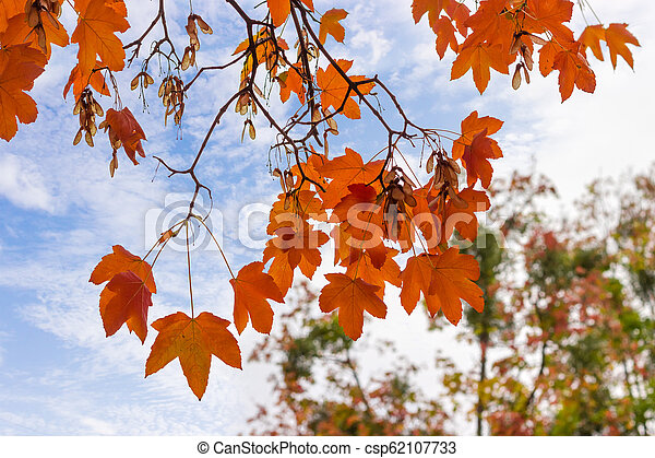 Branches of maple with autumn leaves on background of sky - csp62107733