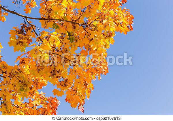 Branches of maple with autumn leaves against of clear sky - csp62107613