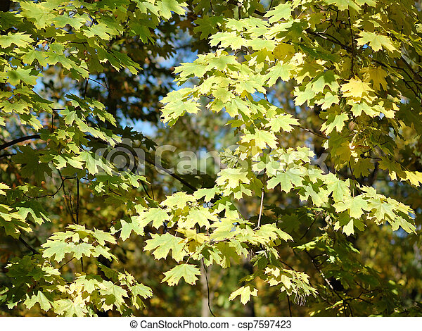 Branches of maple with autumn leaves - csp7597423