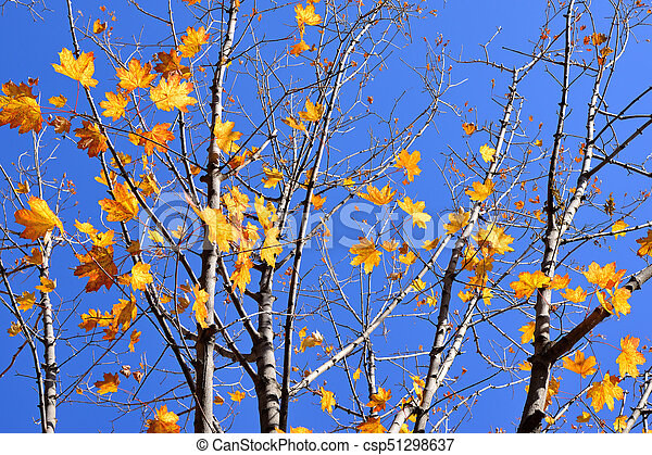 Branches of maple with autumn yellow leaves on blue sky background - csp51298637