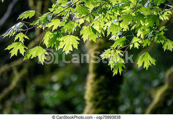 Branches of maple with green leaves - csp70993838