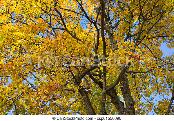 Branches of maple with yellowed leaves. Autumn forest scene - csp61556090