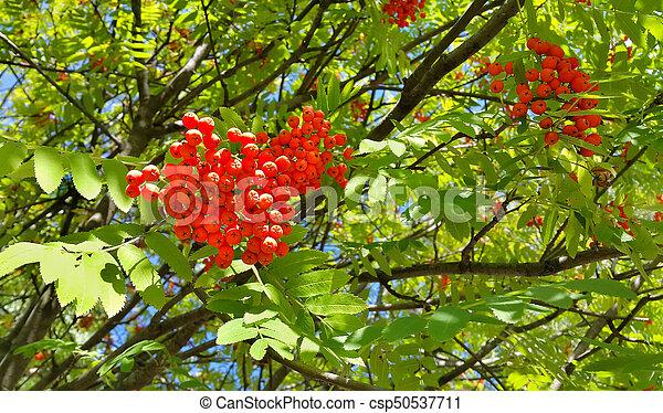 Branches of mountain ash - csp50537711
