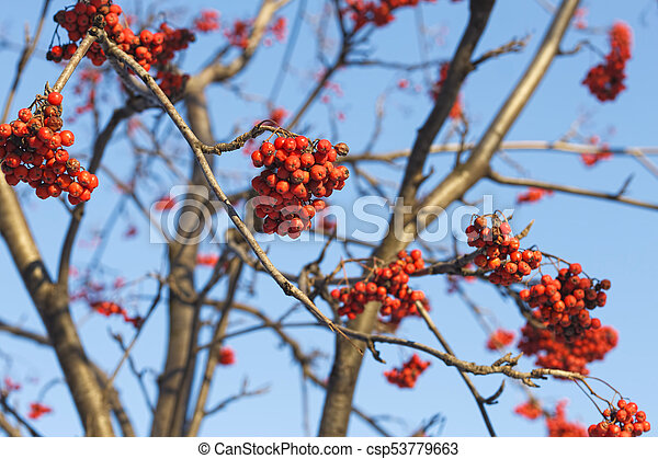 Branches of mountain ash (rowan) with bright red berries - csp53779663