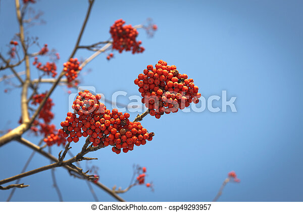 Branches of mountain ash with red berries against the blue sky - csp49293957
