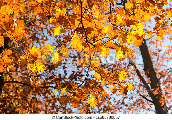 Branches of oak with autumn leaves against the sky - csp85700857
