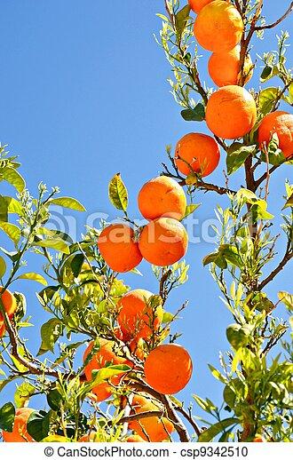 Branches of orange - csp9342510