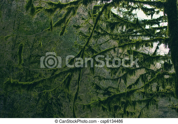 Branches of the trees in the forest covered with moss - csp6134486