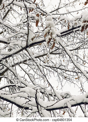 branches of tree under snow in winter - csp64801354