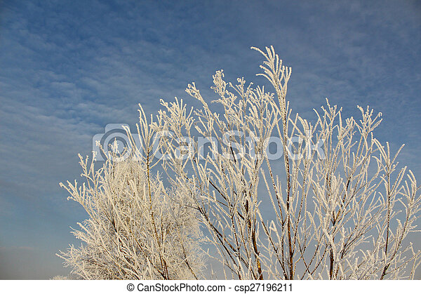 Branches of trees in hoarfrost - csp27196211