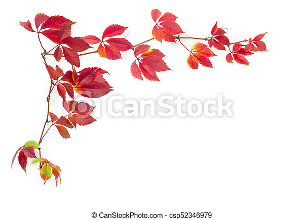 Branches of Virginia creeper with autumn leaves on white background - csp52346979