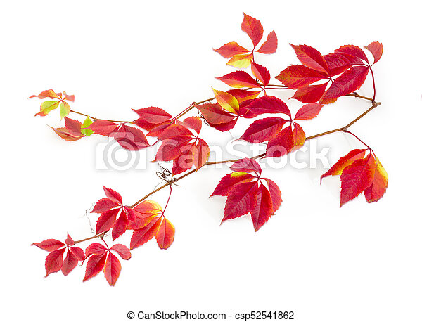 Branches of Virginia creeper with autumn leaves on white background - csp52541862