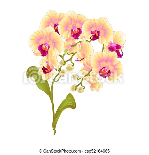 Branches Orchid Phalaenopsis Yellow Flowers Stem And Leaves Vector