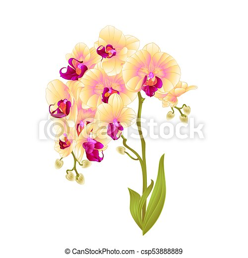 Branches Orchid Phalaenopsis Yellow Flowers Stem Vectoreps
