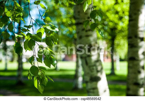 branches, printemps, jeune, lumière soleil, arrière-plan., vert, bouleau - csp48569542