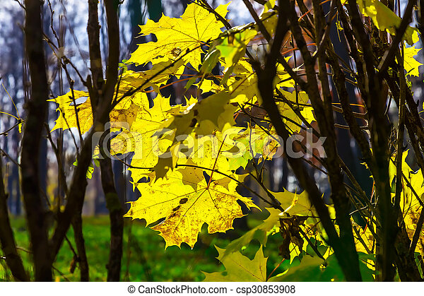 Branches with Autumn Yellow Maple Leaves - csp30853908