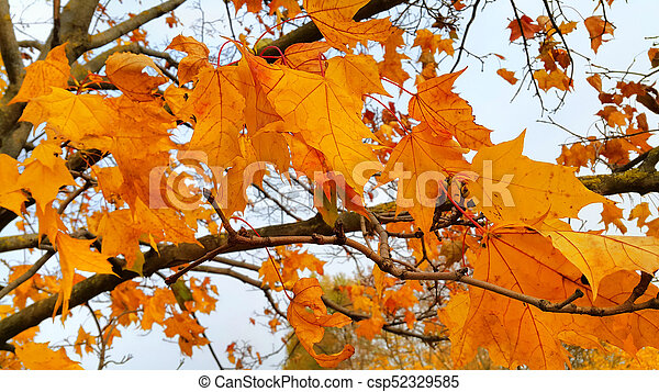 Branches with bright leaves of autumn maple tree - csp52329585