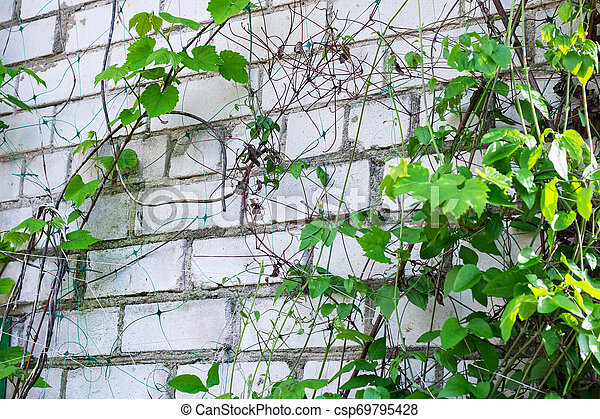 Branches with green leaves on a brick wall - csp69795428