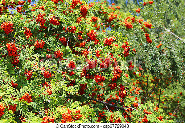 Branches with ripe bright fruits of mountain ash - csp67729043