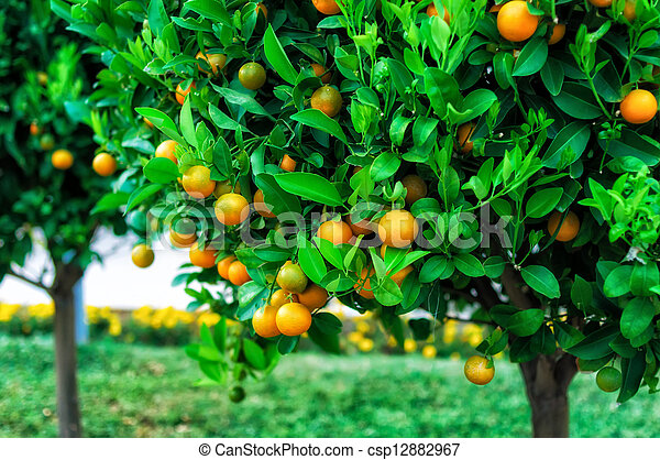 Branches with the fruits of the tangerine trees - csp12882967