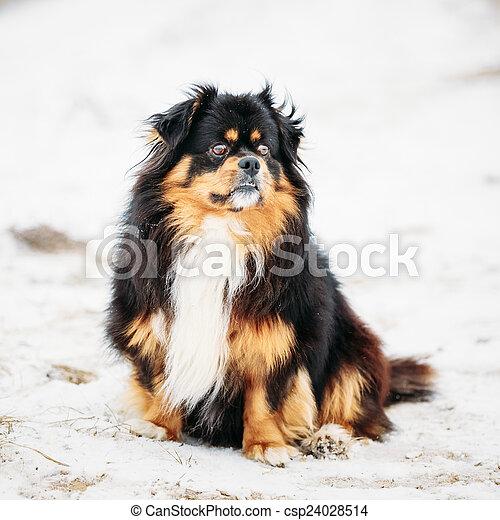 Brauner Pekingese Hund Farben Schwarz Peke Pekinese