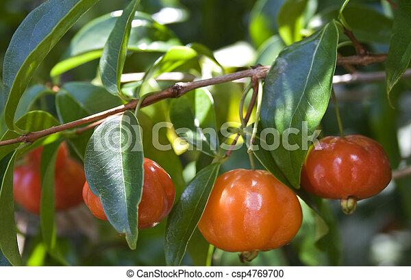 Brazilian Cherry (Pitanga) on Tree - csp4769700