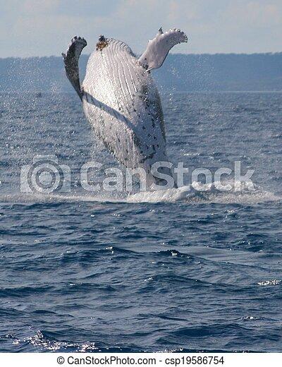 Breaching whale - csp19586754