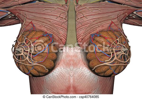Breast., anatomía, 3d, hembra, interpretación. Anatomía, breast ...