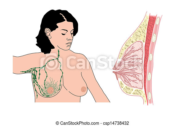 Breast and lymph nodes - csp14738432