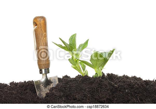 brede boon, seedlings - csp18872634