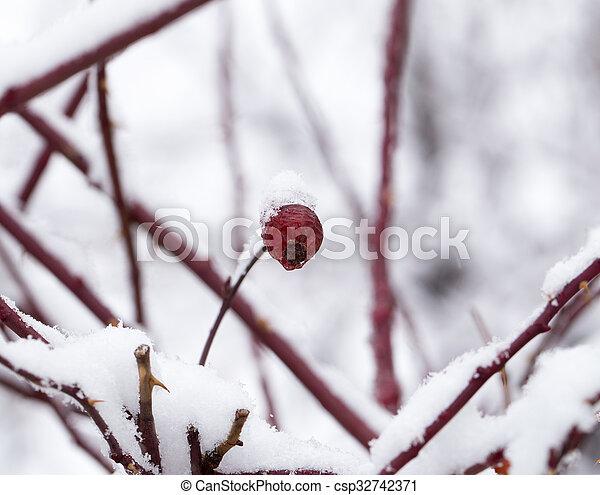 Briar in the snow. macro - csp32742371