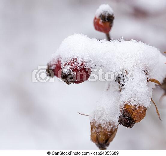Briar in the snow. macro - csp24055689