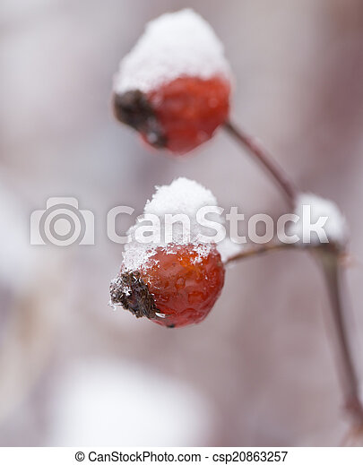 Briar in the snow. macro - csp20863257