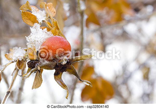 Briar. Winter. Snow. - csp32804140