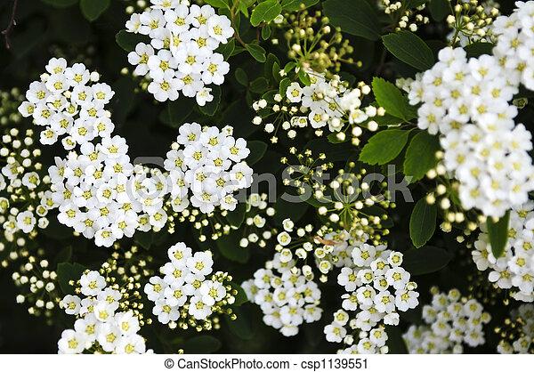 Bridal wreath shrub flowers - csp1139551