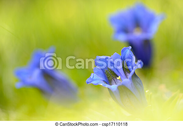 bright;, アルプス, リンドウ, flora;, flower;, natural;, yellow;, orange;, gentiana, green;, landscape;, nature;, white;, red;, gentiana, colourful;, spring;, colorful;, color;, vivid;, acaulis, 飽和させなさい, colour;, springtime; - csp17110118