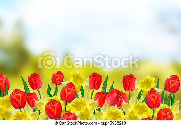 Bright and colorful spring flowers daffodils and tulips bright and colorful spring flowers daffodils and tulips csp45958213 mightylinksfo