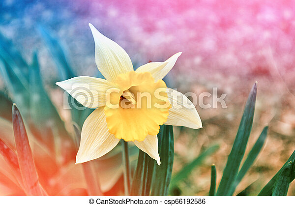 Bright And Colorful Spring Flowers Daffodils Landscape